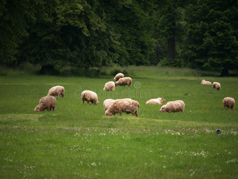 Pecore che pascono sull'erba verde fotografie stock