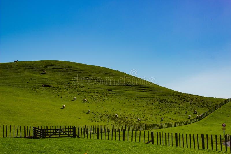 Pecore che pascono in un campo in Matamata, Nuova Zelanda fotografie stock libere da diritti