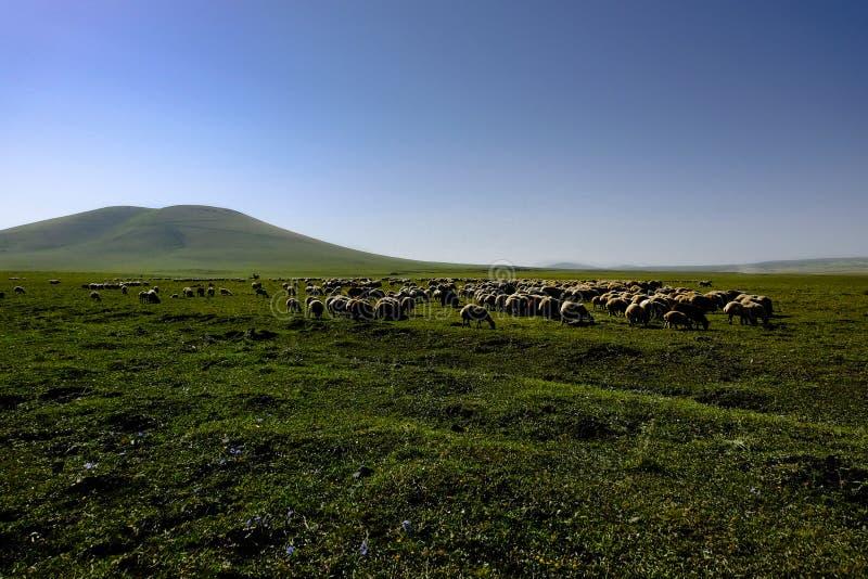 Pecore che pascono in un prato fotografia stock