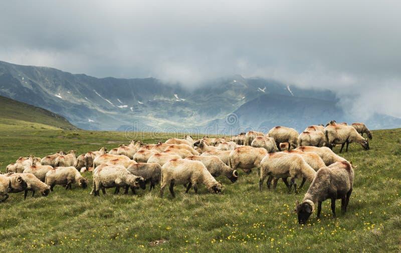 Download Pecore Che Scendono La Montagna Fotografia Stock - Immagine di verde, roccia: 56878770