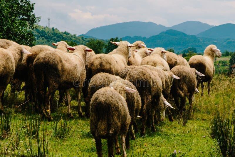 Pecore che si muovono verso il lato più verde fotografia stock libera da diritti