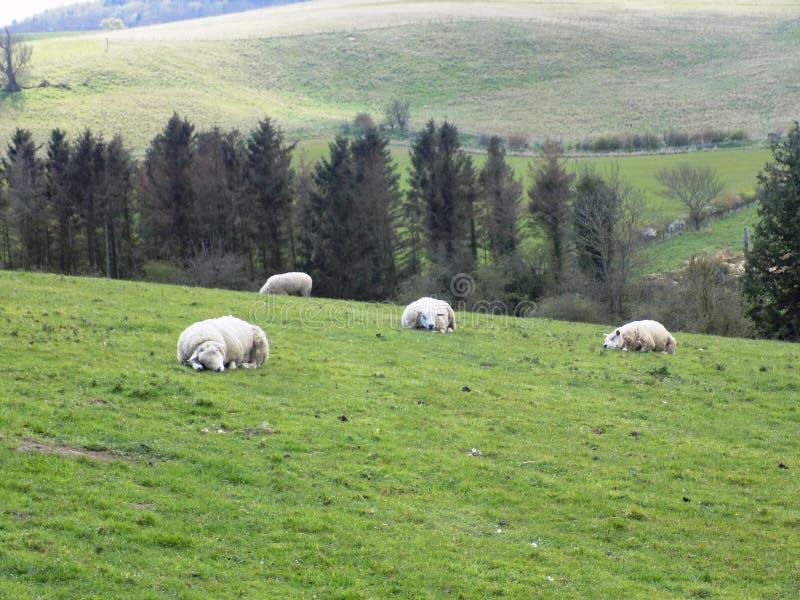 Pecore che si rilassano e che dormono, in Northumberland, l'Inghilterra, Regno Unito immagine stock