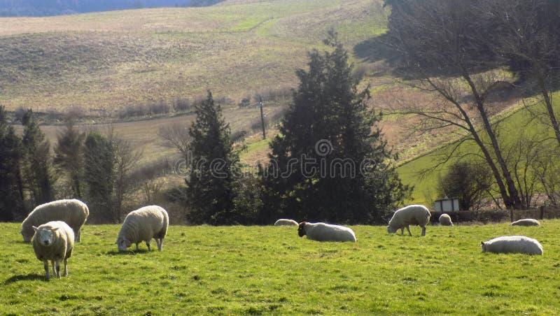 Pecore che si rilassano, Northumberland Regno Unito immagini stock