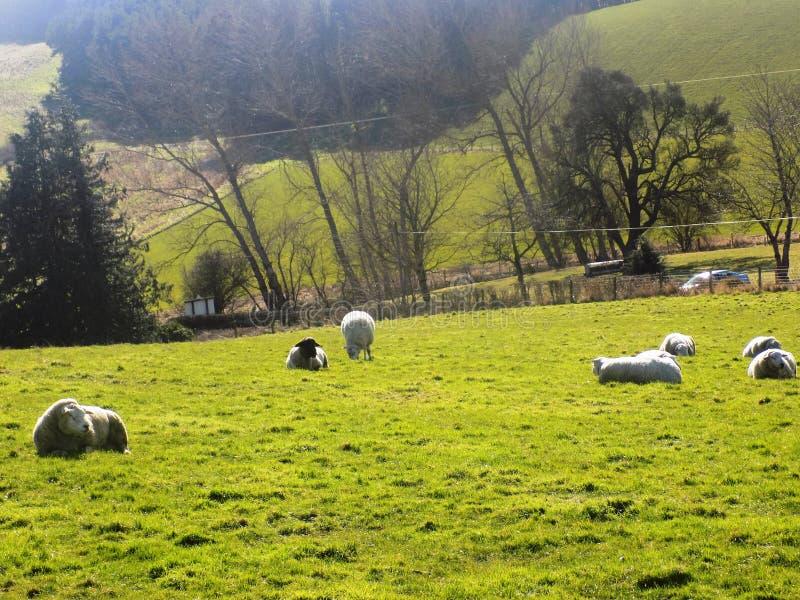 Pecore che si rilassano, Northumberland Regno Unito fotografia stock