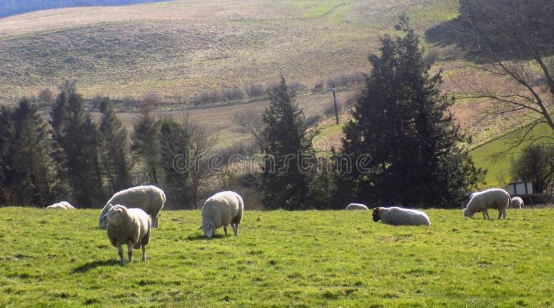 Pecore che si rilassano, Northumberland Regno Unito fotografie stock libere da diritti