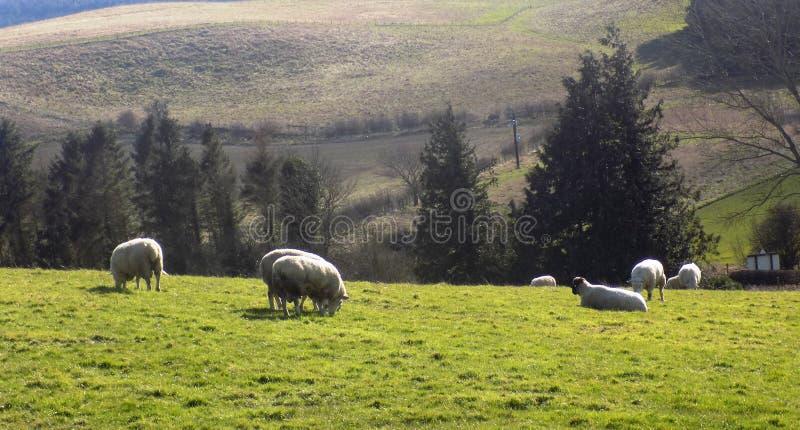 Pecore che si rilassano, Northumberland Regno Unito fotografia stock libera da diritti