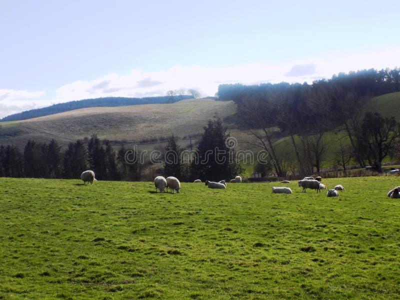 Pecore che si rilassano, Northumberland Regno Unito immagini stock libere da diritti