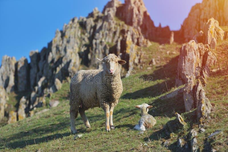 Pecore con l'agnello neonato che riposa con le rocce della montagna dietro fotografie stock
