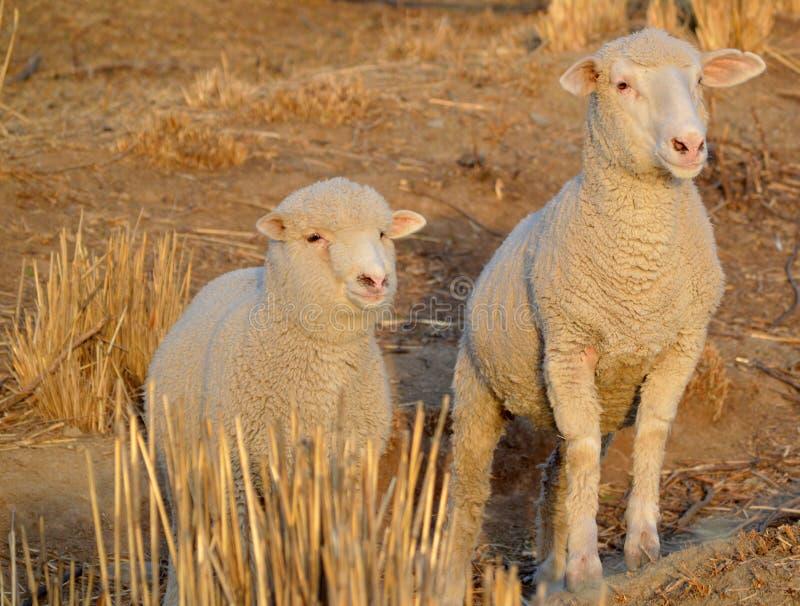 Pecore curiose fotografia stock libera da diritti