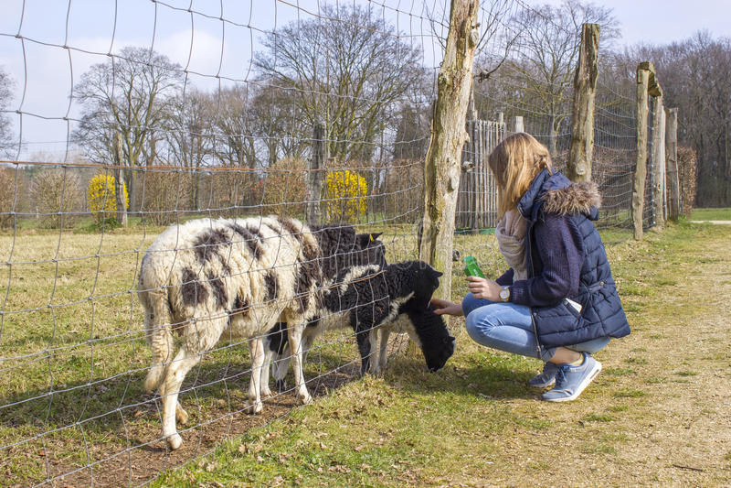 Pecore d'alimentazione della ragazza allo zoo immagine stock libera da diritti