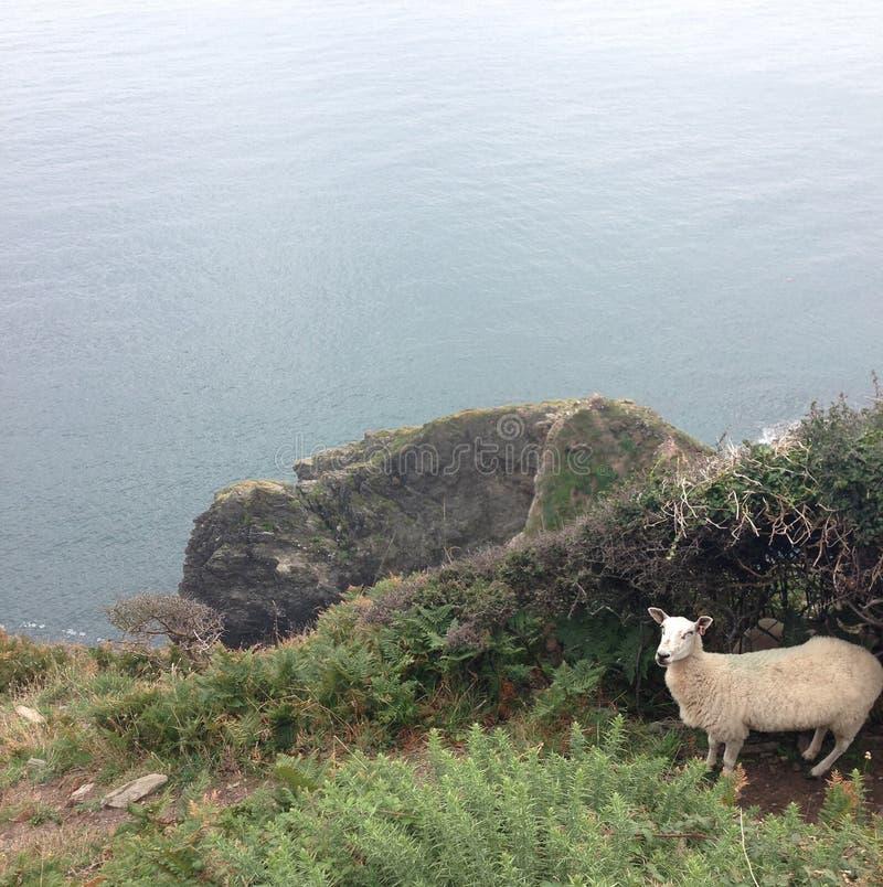 Pecore dalla scogliera immagini stock libere da diritti