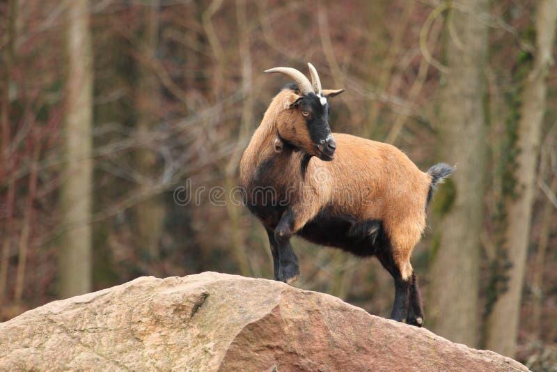 Pecore del Cameroun fotografia stock