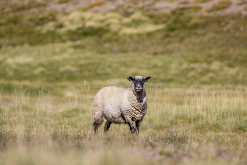 Pecore del Hampshire che guardano attentamente verso la macchina fotografica nel campo con le montagne nei precedenti fotografie stock