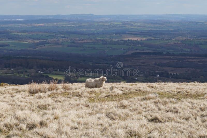 Pecore del paese fotografia stock libera da diritti