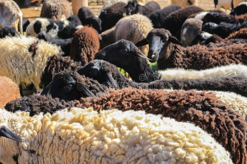 Pecore della lana da vendere fotografie stock