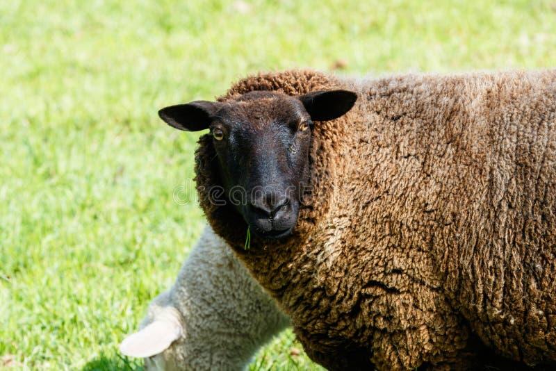 Pecore della madre che guardano circondare fotografia stock