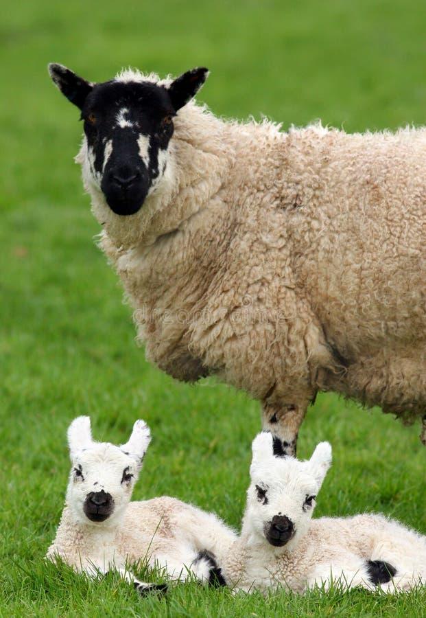 Pecore della madre ed agnelli gemellare fotografia stock libera da diritti