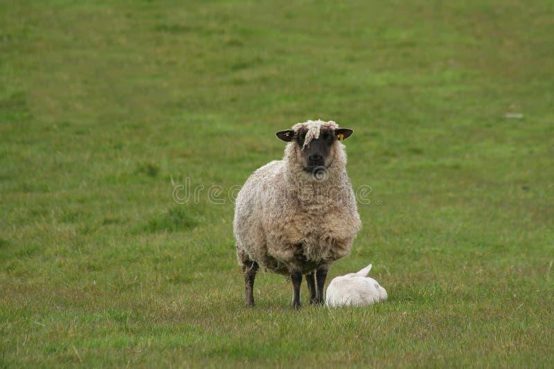 Pecore della madre ed agnello del bambino fotografia stock