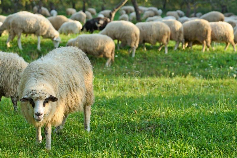 pecore della moltitudine fotografia stock libera da diritti