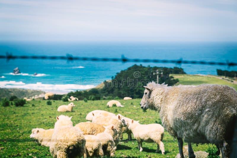 Pecore della Nuova Zelanda che pascono sopra la collina con la vista di oceano fotografia stock libera da diritti