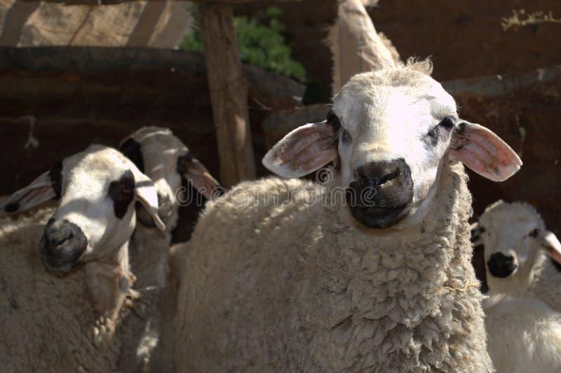 Pecore della razza di Damman nel Marocco del sud fotografia stock