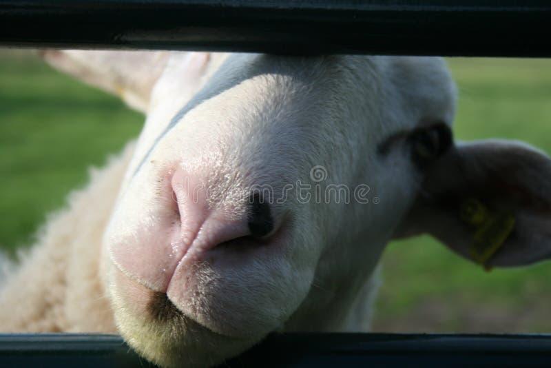Pecore della rete fissa fotografie stock libere da diritti