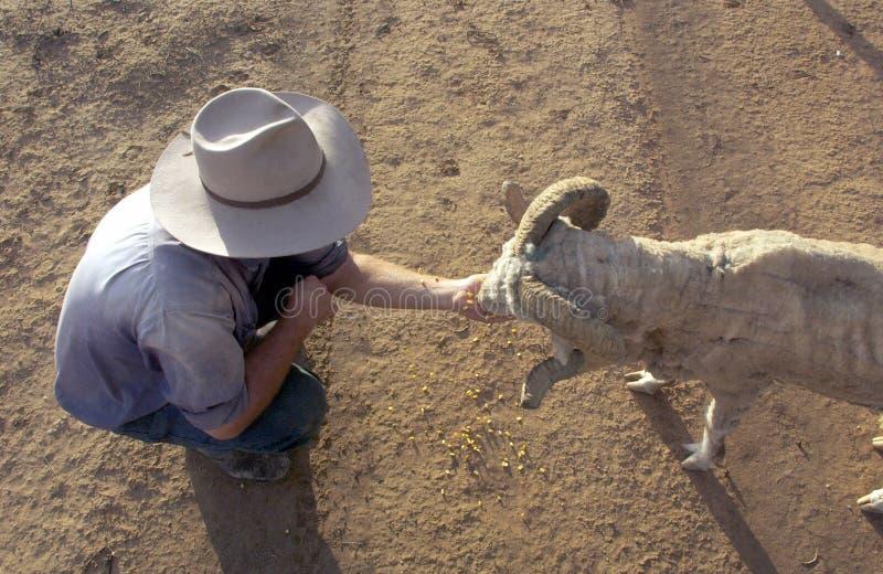 Pecore di alimentazione manuale nell'entroterra Australia fotografie stock