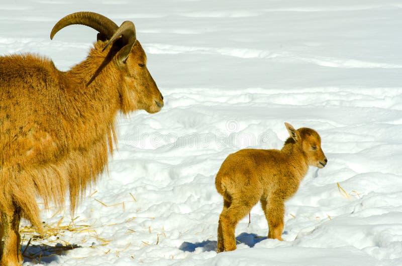 Pecore di Barbary fotografie stock