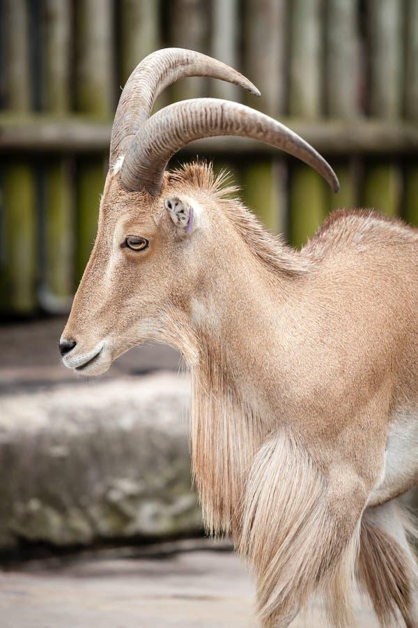Pecore di Barbary dell'Africano allo zoo fotografia stock