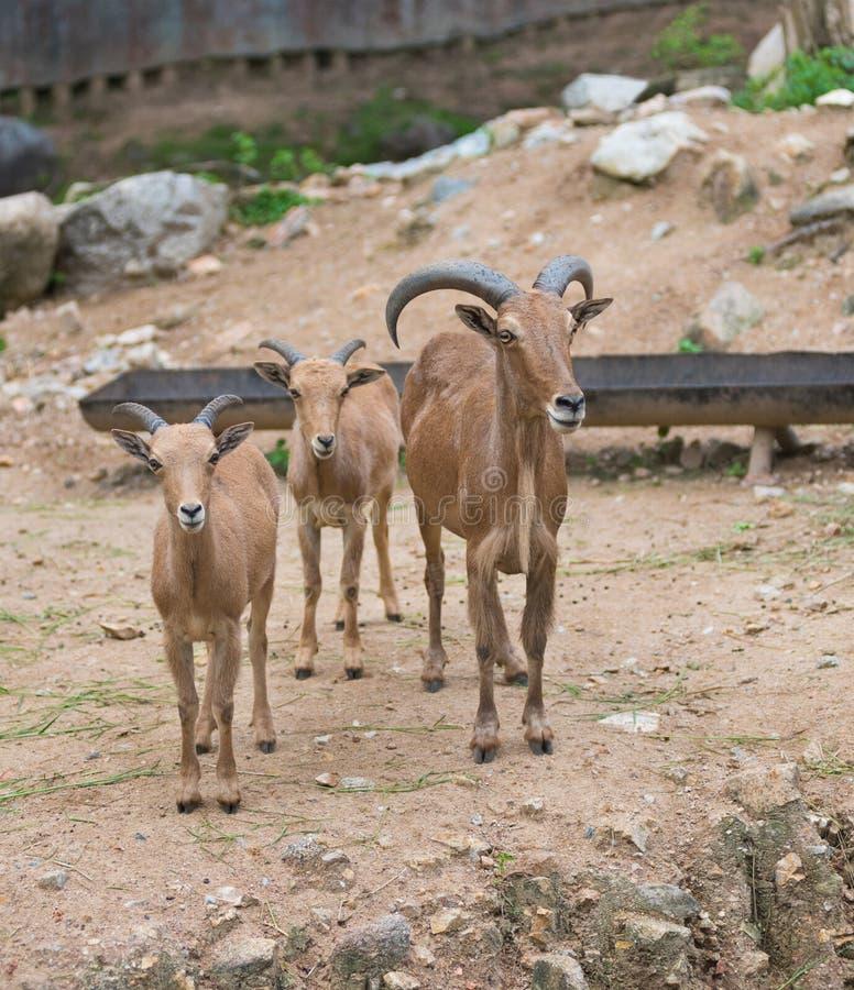Pecore di Barbary, lervia del Ammotragus immagine stock