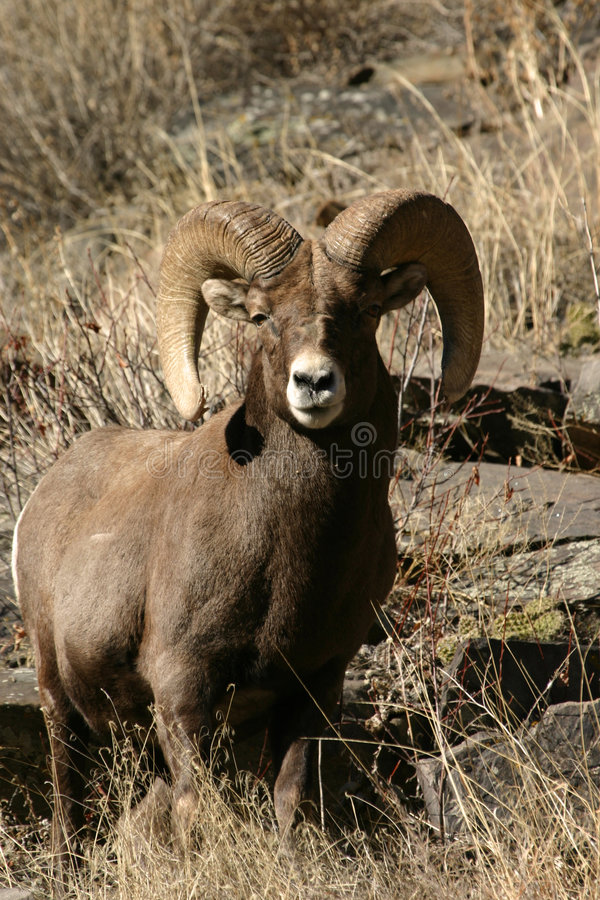 Pecore di Bighorn fotografia stock libera da diritti