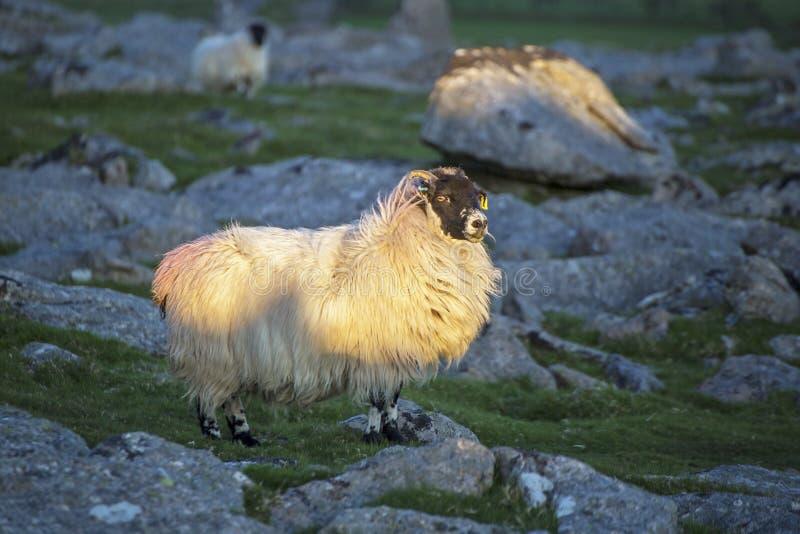 Pecore di Dartmoor immagine stock