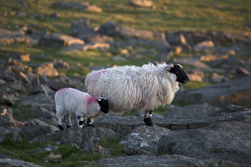 Pecore di Dartmoor immagini stock