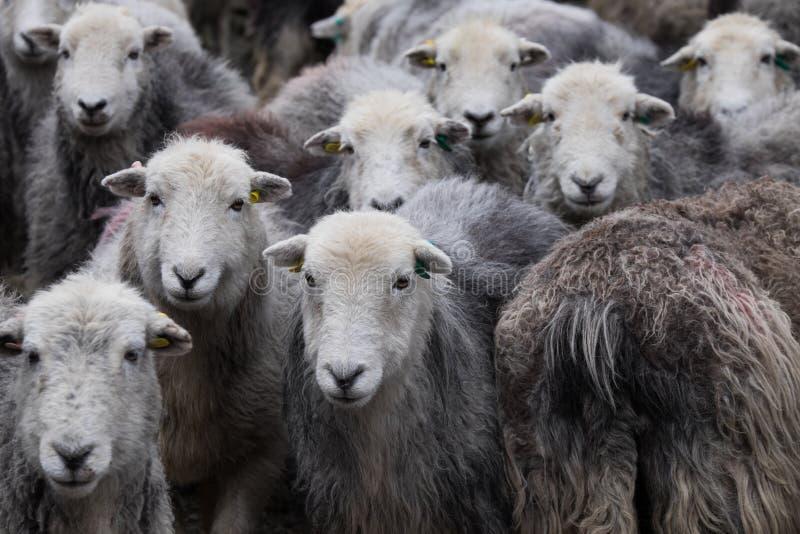 Pecore di Herdwick fotografia stock