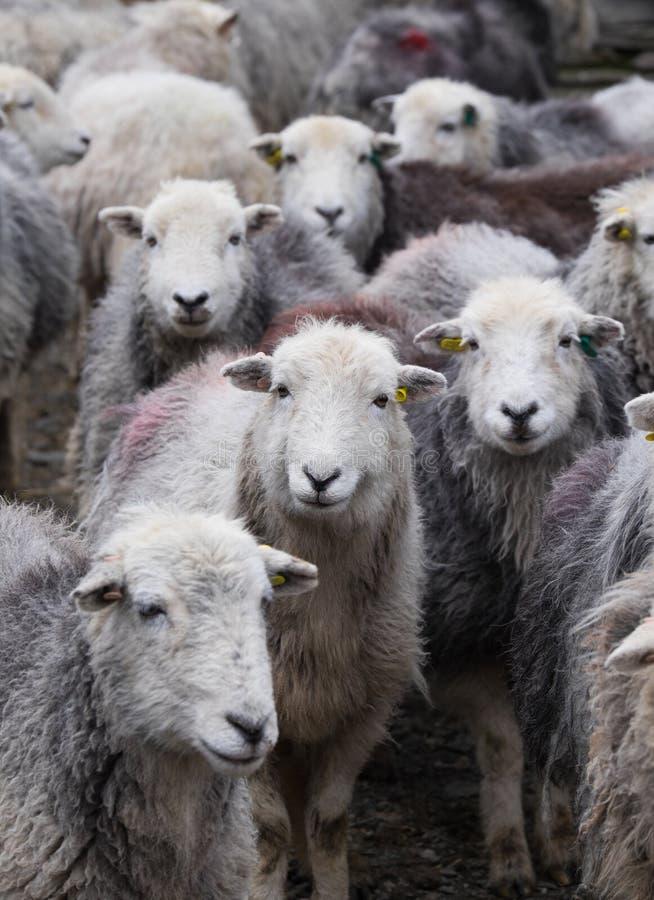 Pecore di Herdwick fotografia stock libera da diritti