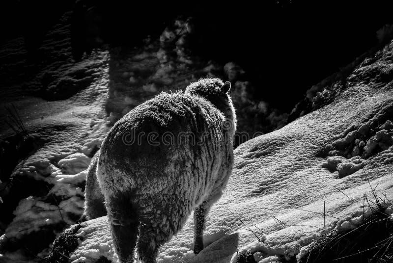 Pecore di inverno immagini stock libere da diritti