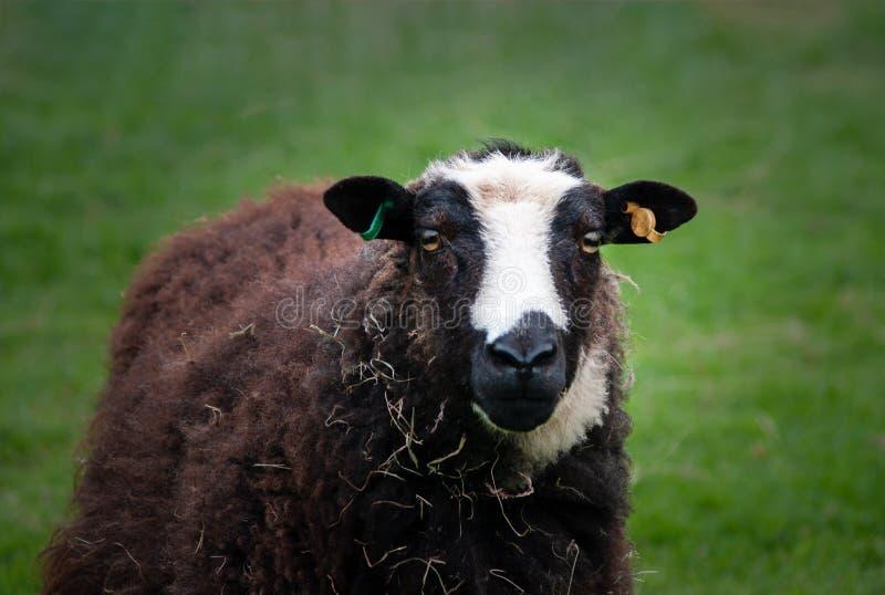 Pecore di montagna di Balwen Lingua gallese su erba fotografia stock
