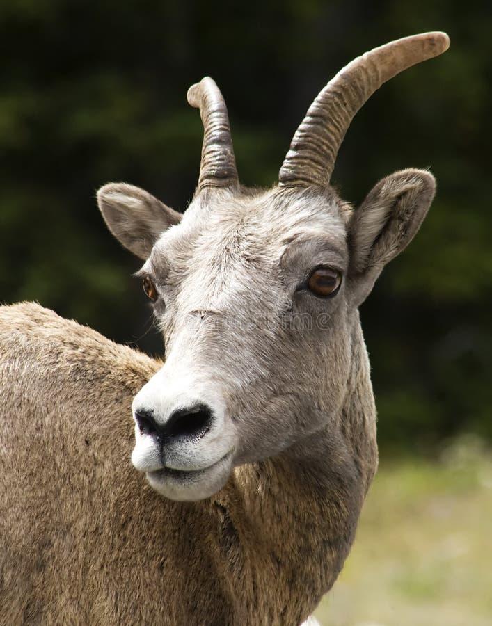 Pecore di montagna della roccia immagini stock