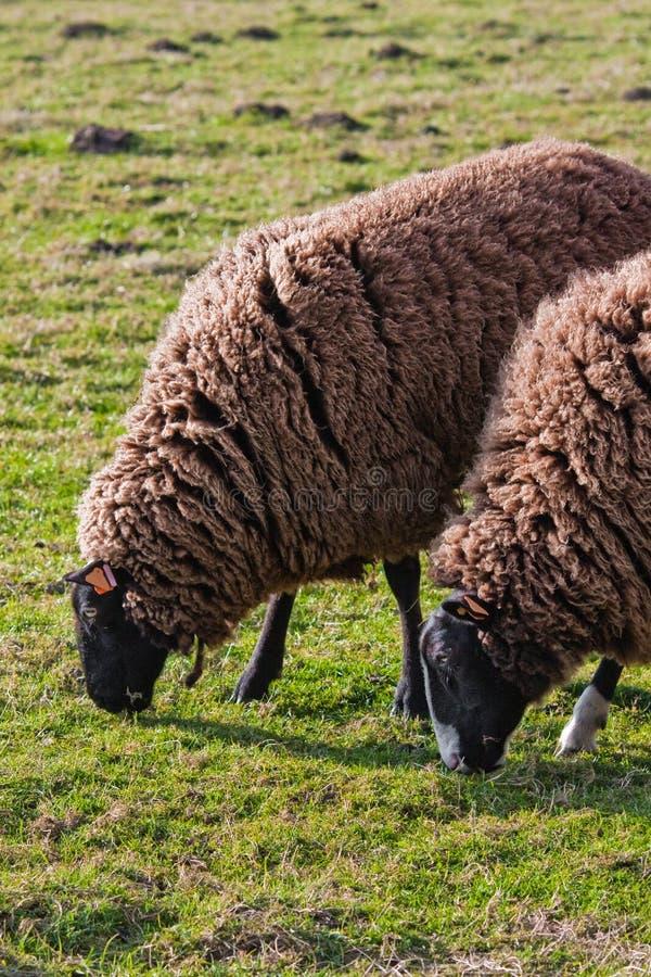 Pecore di montagna di Balwen Lingua gallese che pascono (2) fotografia stock libera da diritti