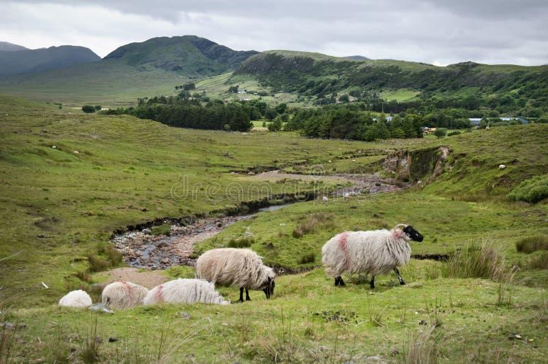 Pecore di montagna a Joyce Country immagini stock
