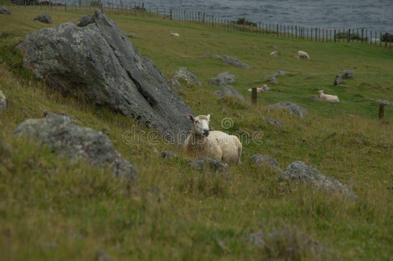 Pecore di Restig immagini stock
