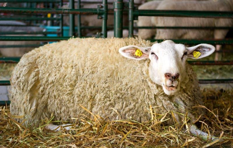 Pecore di rilassamento sveglie fotografia stock libera da diritti