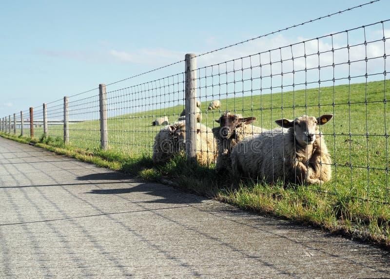 Pecore di riposo fotografie stock libere da diritti