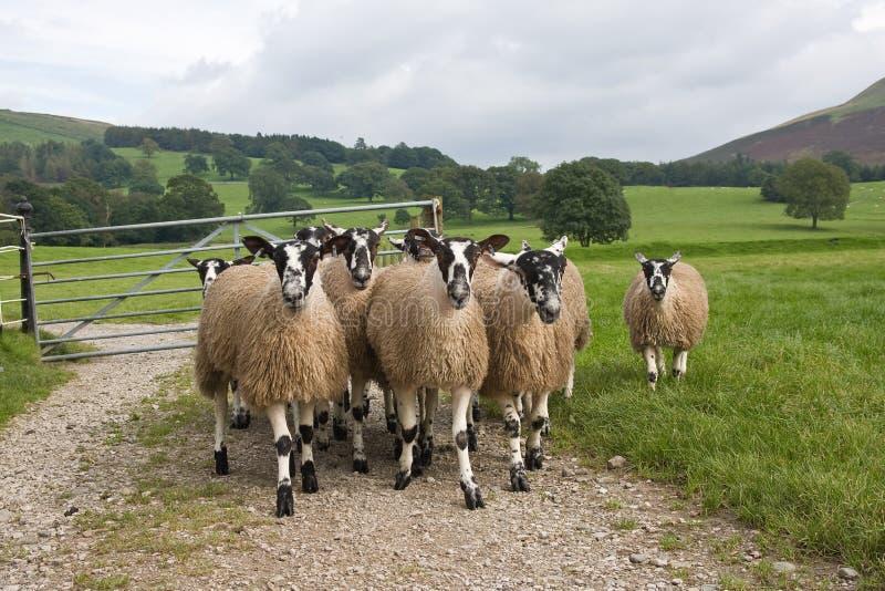 Pecore di Swaledale fotografia stock libera da diritti