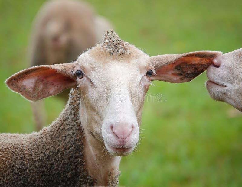 Pecore divertenti nel pascolo Si con un mohawk sugli sguardi capi alla macchina fotografica, l'altro sta pettegolando in primo lu fotografie stock libere da diritti
