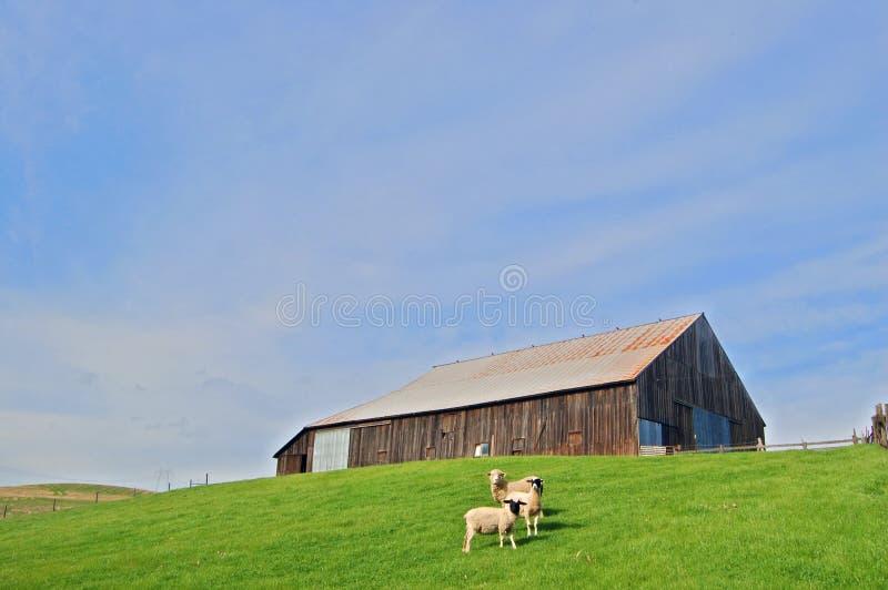 Pecore e granaio immagine stock