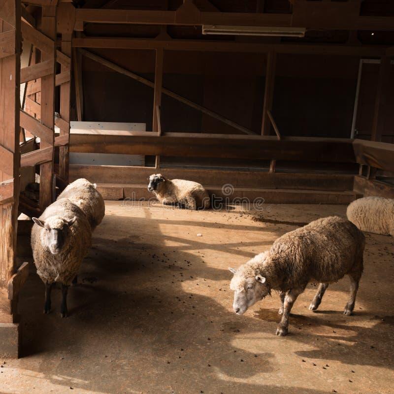 Pecore e penna di pecore fotografia stock