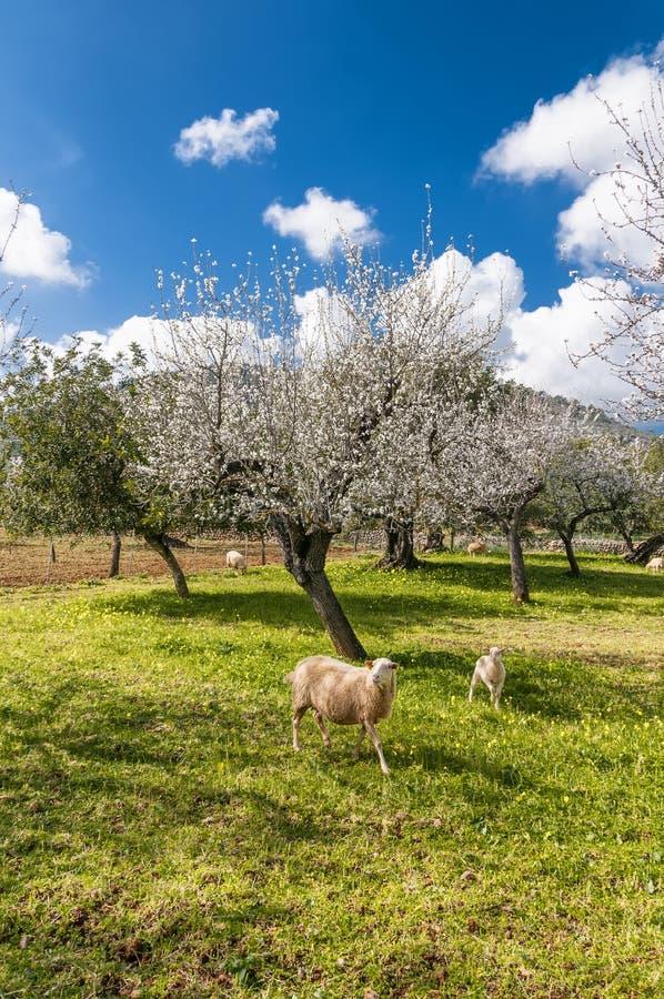 pecore e vitelli immagine stock