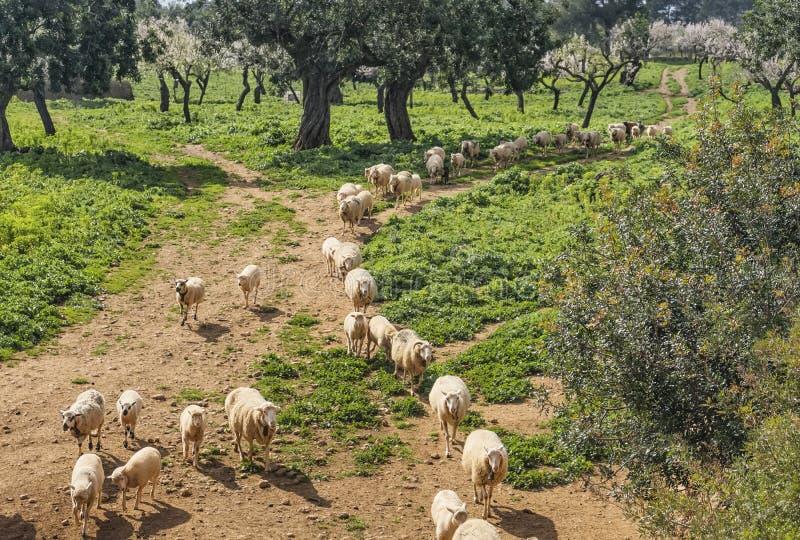 pecore e vitelli fotografia stock libera da diritti