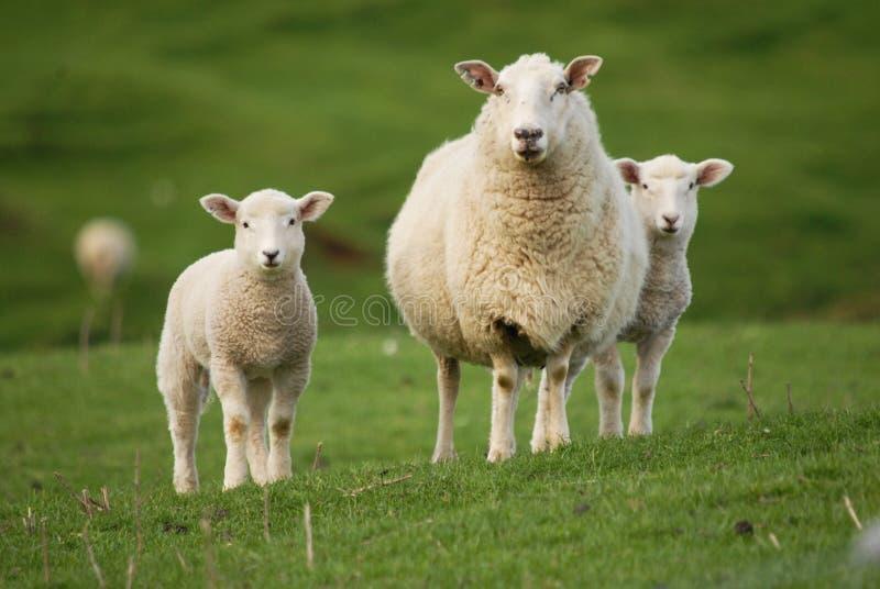 Pecore ed agnelli fotografie stock libere da diritti